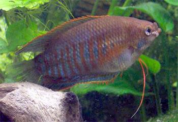 Рыбка лябиоза - представитель лабиринтовых