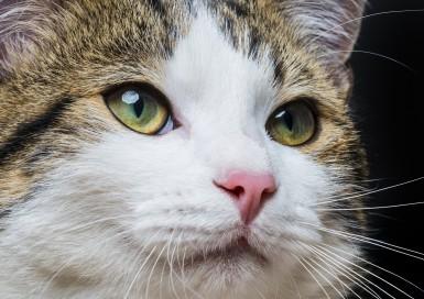 Уши, зубы, ротовая полость у кота