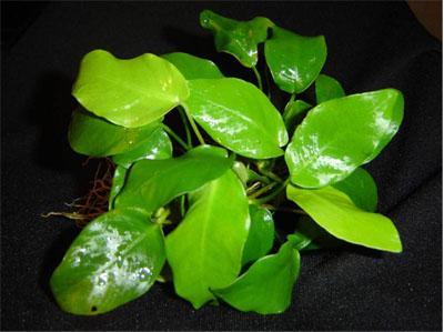 Анубиас нана или анубиас карликовый (Anubias nana или Anubias barteri var. nana) размер М