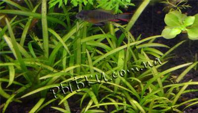 Эхинодорус нежный (Echinodorus tenellus) 5 штук, SG26