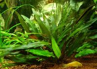 Криптокорина Петча (Cryptocoryne petchii)