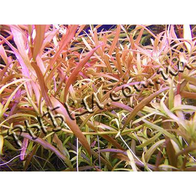 Людвигия аркуата (ludwigia arcuata), SG1