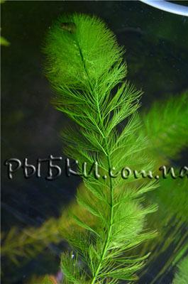 Перистолистник елочный (Myriophyllum elatinoides), SG4