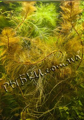 Перистолистник Рорайма (Myriophyllum sp. Roraima), SG10