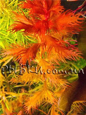 Прозерпинака (Proserpinaca palustris), SG11