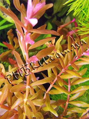 Ротала индийская (Rotala indica), SG2