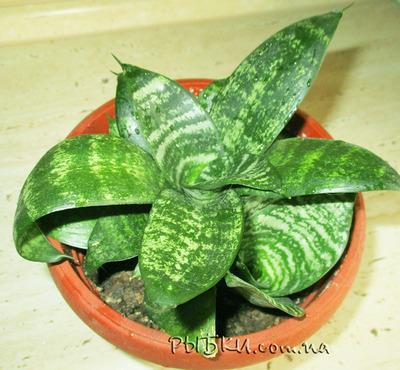 Сансевиерия ханни (sansevieria hahnii)