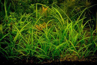 Стрелолист шиловидный (Sagittaria subulata)