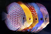 Сколько живут аквариумные рыбки